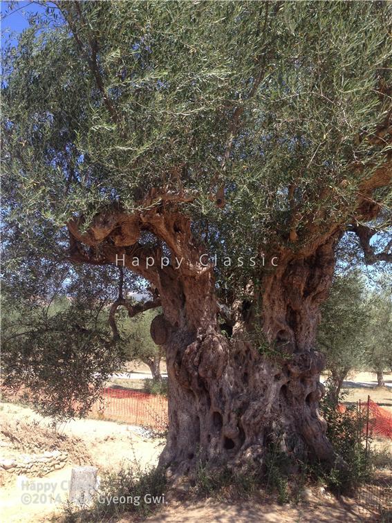스파르타 아크로폴리스 주변은 올리브 밭이다. 수천 년 됨직한 올리브 나무가 이곳의 연륜을 말해준다. ⓒ박경귀