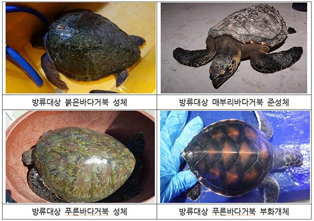방류대상 거북 개체 ⓒ해수부