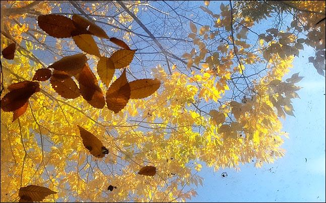 일교차가 크고 기온변화가 심한 전형적인 가을 날씨가 이어지고 있는 25일 서울 여의도 국회 휴게실의 천정 유리창 위로 파란 가을 하늘을 배경으로 노랗게 물든 낙엽이 떨어져 있다. ⓒ데일리안 박항구 기자