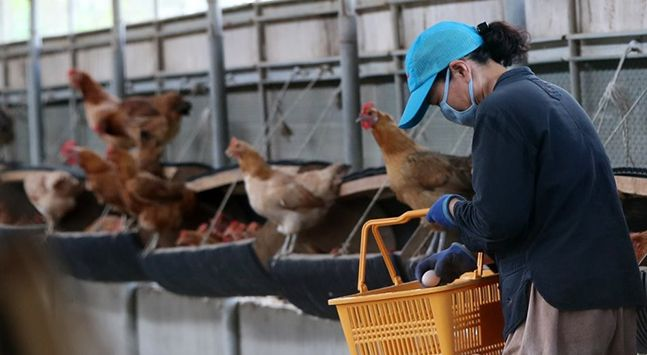 한 산란계 농장에서 관계자가 계란을 수거하고 있다. ⓒ연합뉴스