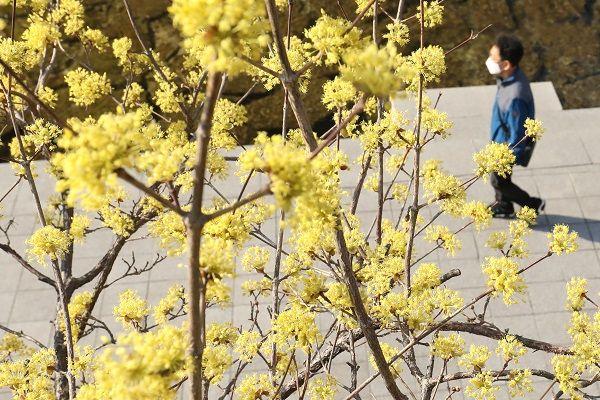 연일 완연한 봄 날씨가 이어지고 있는 23일 서울 청계천에 핀 산수유 나무 아래로 마스크를 쓴 시민이 산책을 하고 있다. ⓒ데일리안 류영주 기자