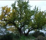 300년이 넘은 상주 고향집 은행나무는 지금...