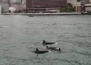 홍콩 앞바다에 범고래붙이 100여 마리 '깜짝 출현'