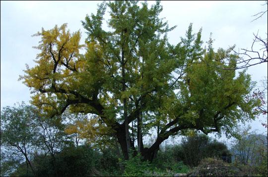 고향 상주 집 뒤꼍에 있는 보호수로 지정된 300년 된 은행나무.ⓒ조남대