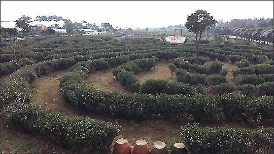 한국다원 차밭 모습.ⓒ조남대