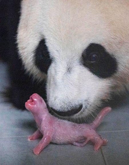 태어난 직후의 아기 판다와 엄마 아이바오 모습ⓒ에버랜드