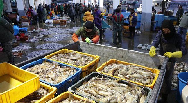 동해안 오징어잡이가 활발하게 이뤄지고 있는 가운데 양양군 남애항에서 어민들이 잡아 온 오징어를 위판하고 있다. ⓒ연합뉴스 자료사진