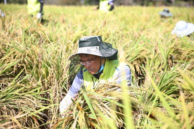 전용범 NH농협생명 경영기획부문 부사장이 22일 아산 외암마을을 찾아 강풍 및 폭우로 쓰러진 벼를 세우고 있다.ⓒNH농협생명