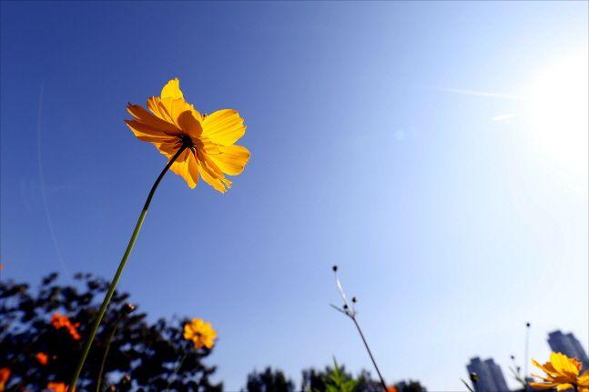 서울 송파구 올림픽공원 들꽃마루에 핀 황화 코스모스 너머로 파란 가을하늘이 보이고 있다. ⓒ데일리안 홍금표 기자