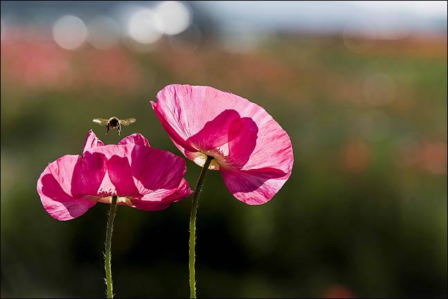 [이창수의 지리산 산책 ⑦] 섬진강 동쪽 '하동'에 흐드러진 개양귀비꽃