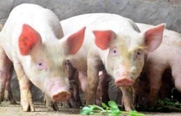 中, 돼지고깃값 안정 총력…아프리카열병으로 40% 치솟아
