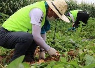 농협은행 HR·업무지원·신탁부문, 자매결연 마을서 일손돕기 실시