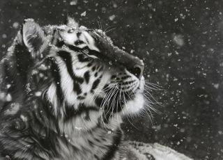 [큐레이터 픽] 한국 호랑이의 부활을 꿈꾸며…포산 김태형 화백
